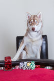 siberian-husky-playing-poker-poses-fron267